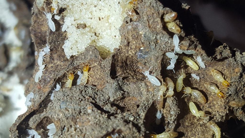termite larvae growing
